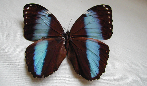 Black and blue butterfly in natural sciences collection.